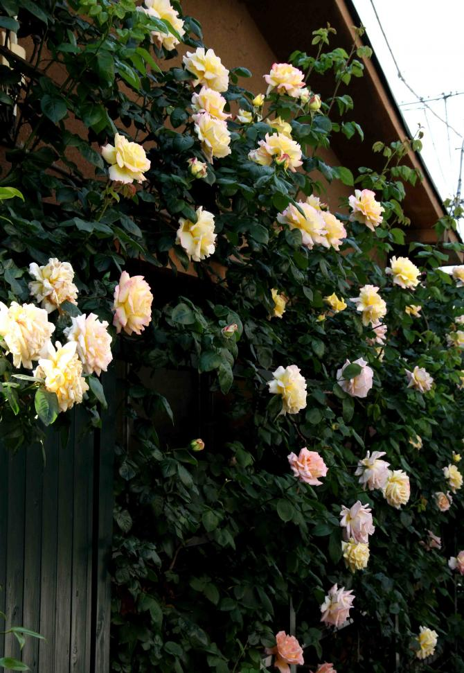 5月のバラ(8) つるピースとコンフィダンス