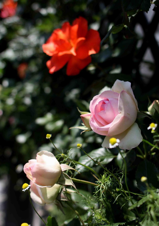 5月のバラ(10) つるプリンセスミチコとPDロンサール