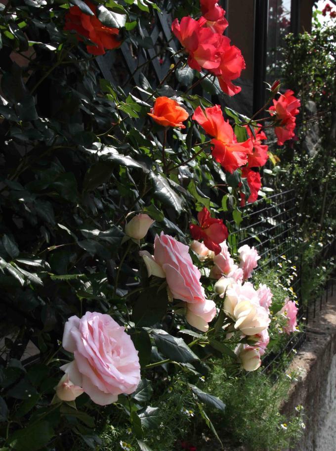 5月のバラ(11) つるプリンセスミチコとPDロンサール
