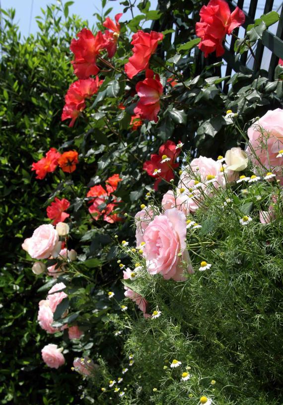 5月のバラ(12) つるプリンセスミチコとPDロンサール