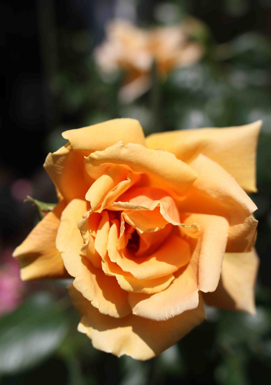 5月のバラ(13) ロイヤルサンセット