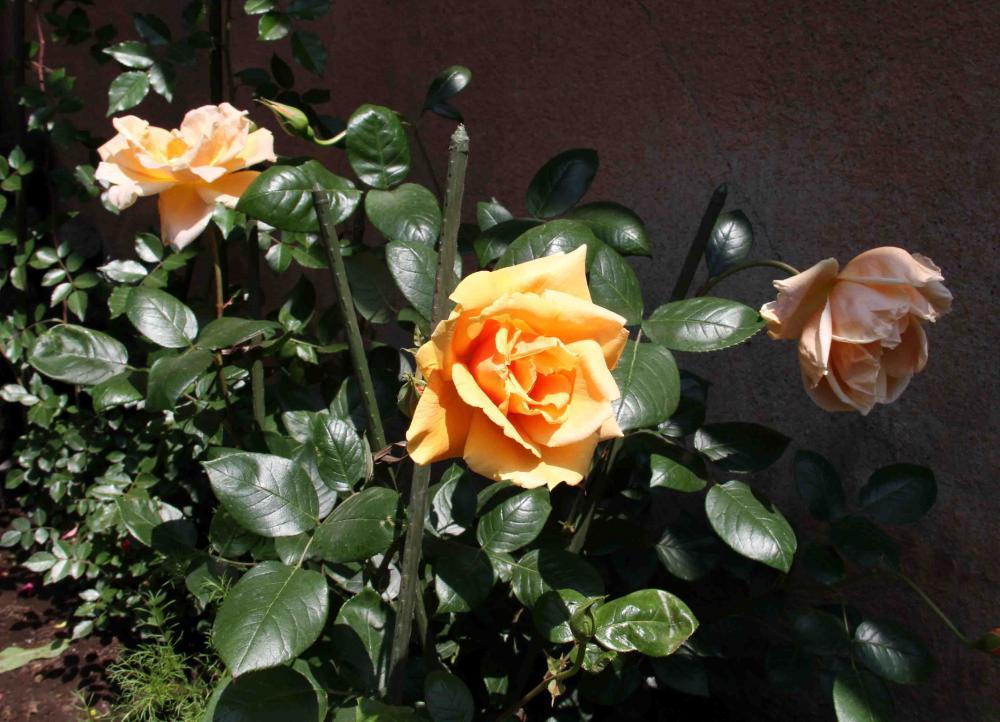 5月のバラ(14) ロイヤルサンセット