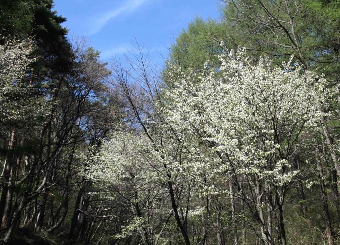 山桜と新緑(1)