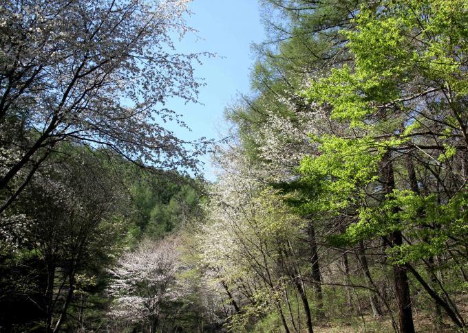 山桜と新緑(2)