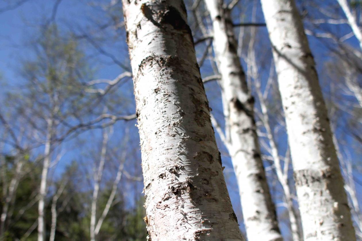白い樹皮(1)