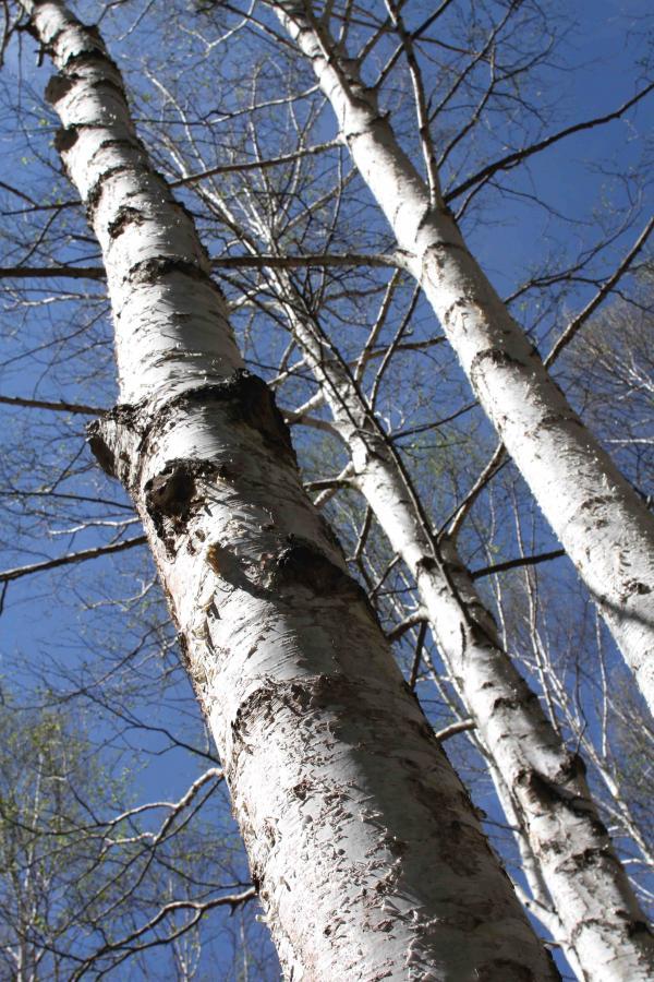 白い樹皮(2)