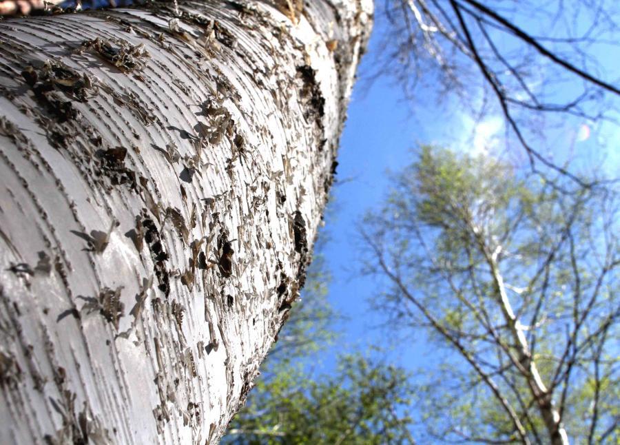 白い樹皮(4)