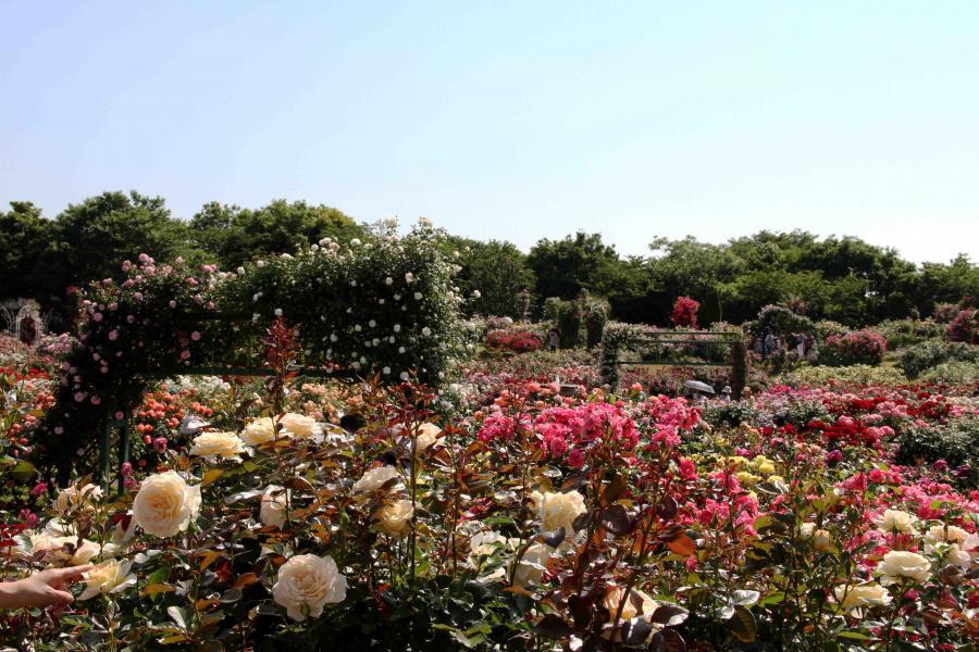 見事なバラ模様 総花(1)