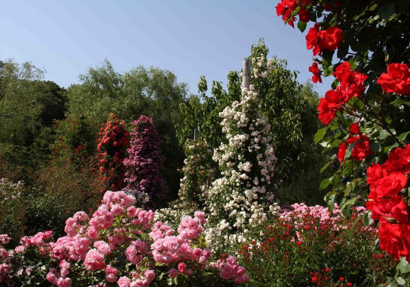見事なバラ模様 総花(2)