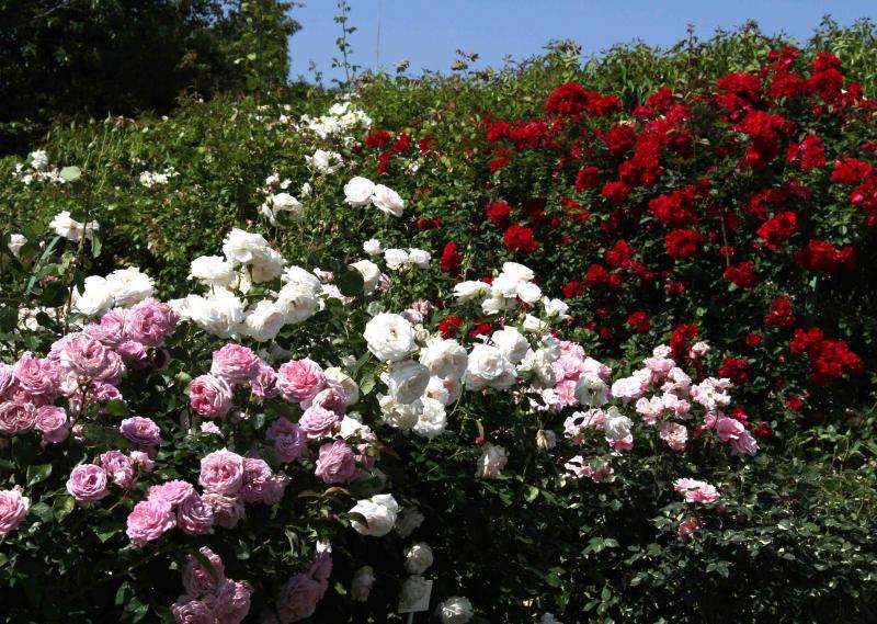 見事なバラ模様 総花(4)