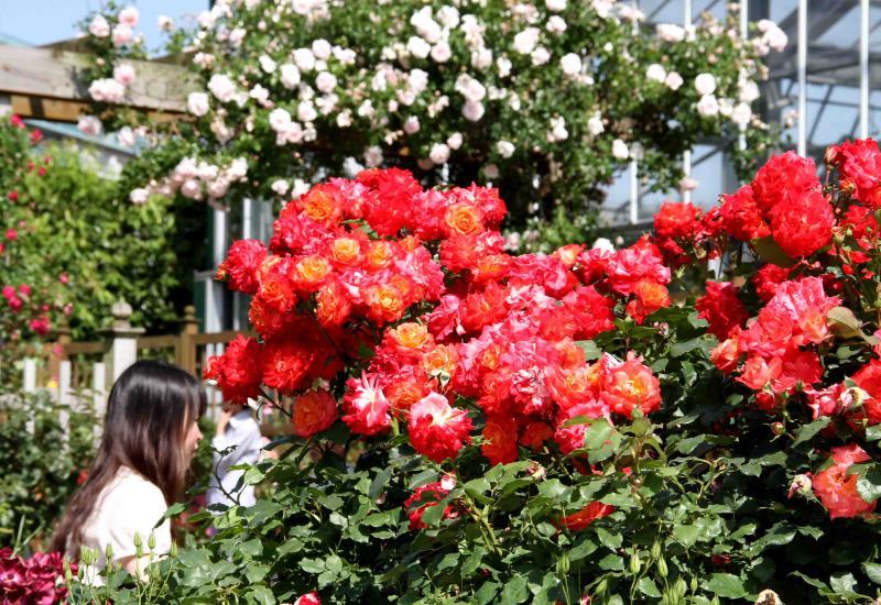 見事なバラ模様 総花(5)