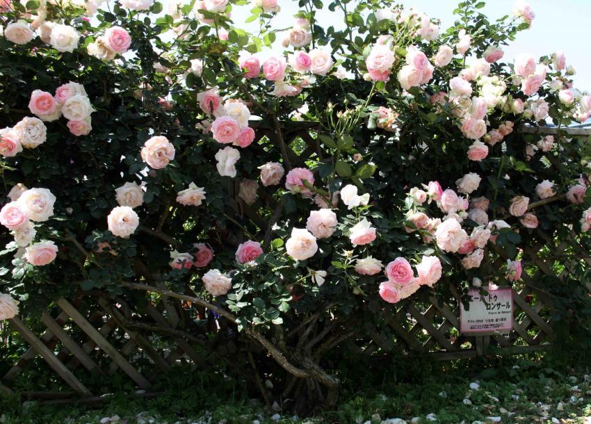 見事なバラ模様 PDロンサール(1)