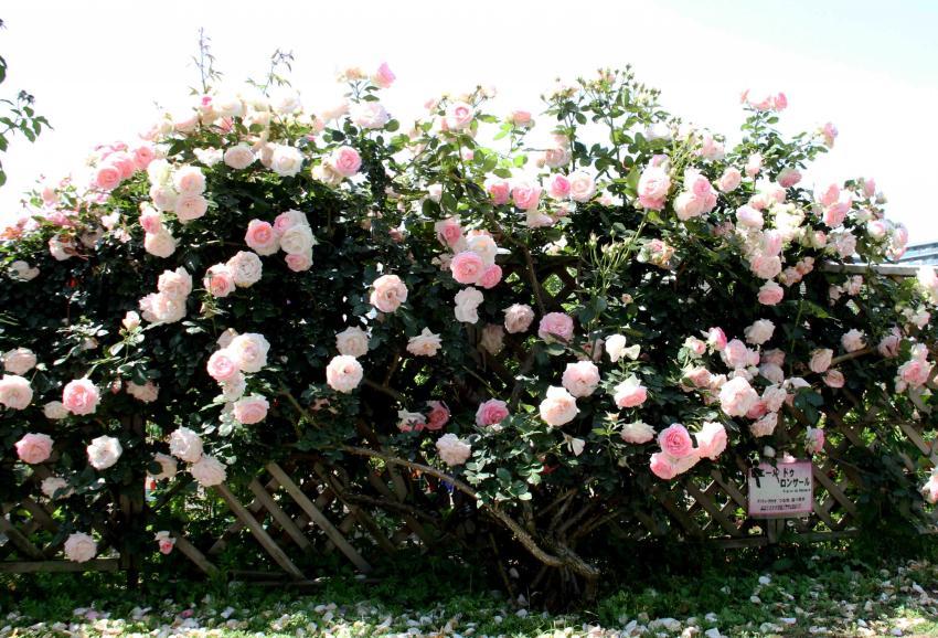 見事なバラ模様 PDロンサール(2)