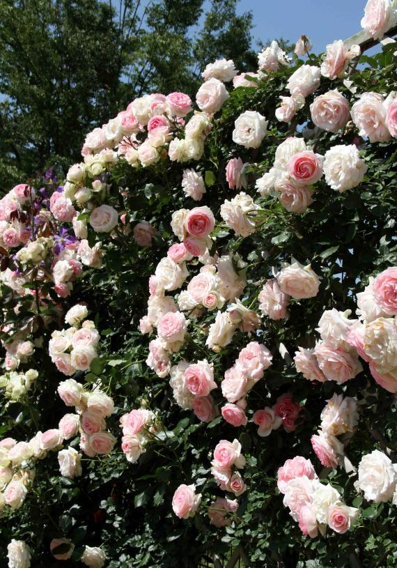 見事なバラ模様 PDロンサール(3)
