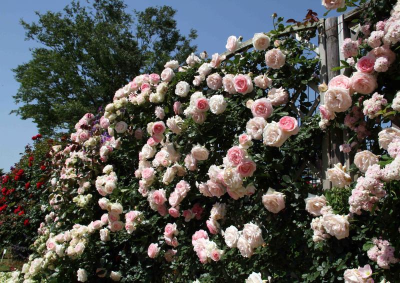 見事なバラ模様 PDロンサール(4)