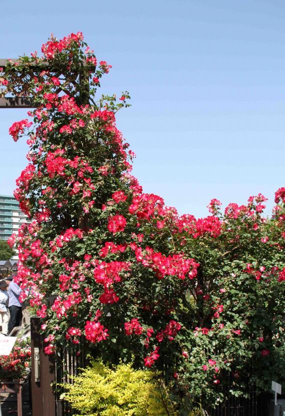 見事なバラ模様 カクテル(1)
