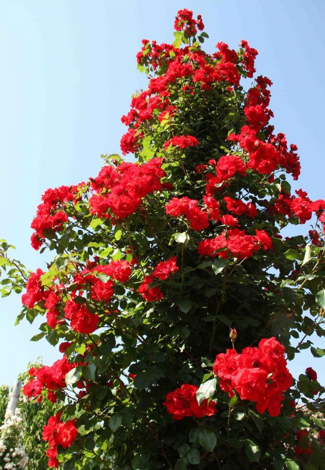 見事なバラ模様 つる ラ・セビリアーナ(赤)