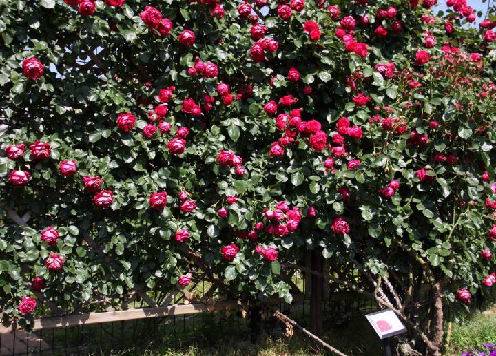 見事なバラ模様 ルージュPDロンサール(1)