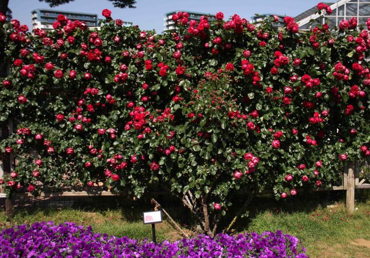 見事なバラ模様 ルージュPDロンサール(2)