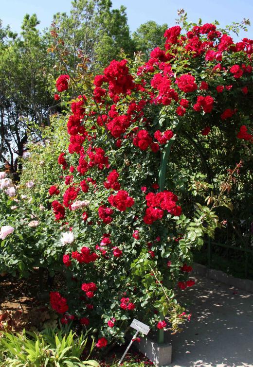 見事なバラ模様 ロイヤル・スカーレット(赤)
