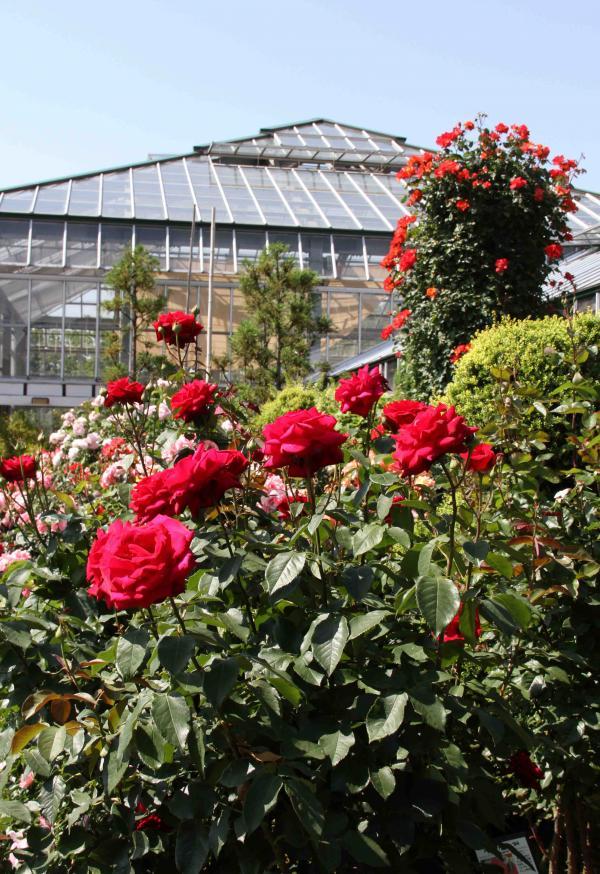 見事なバラ模様 赤いバラ(1)