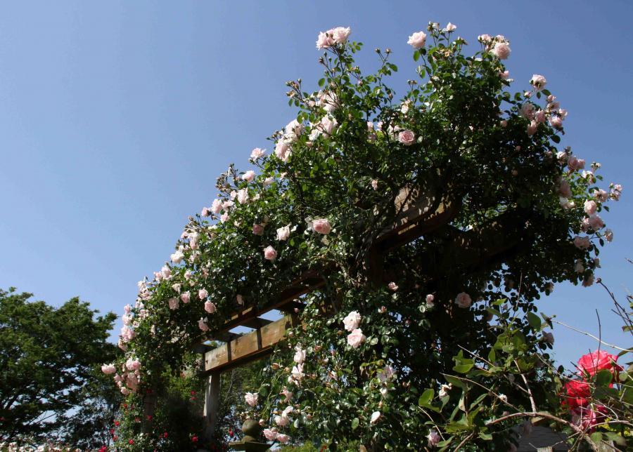 見事なバラ模様 白いバラのパーゴラ