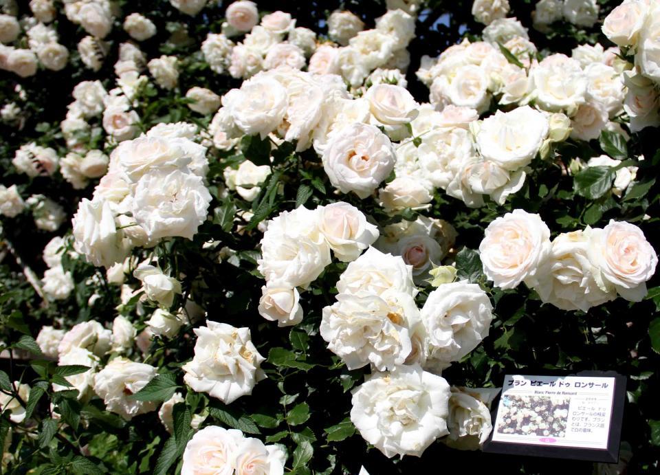 見事なバラ模様 ブランPDロンサール(1)
