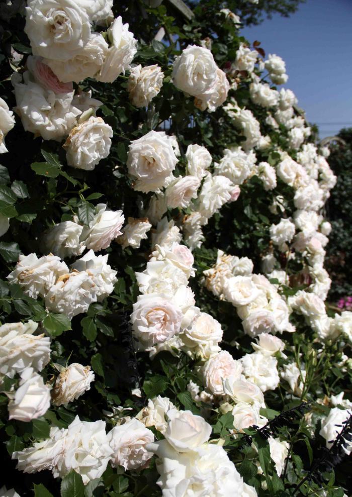 見事なバラ模様 ブランPDロンサール(2)