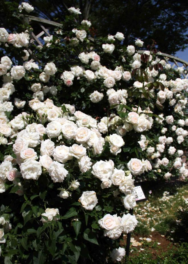見事なバラ模様 ブランPDロンサール(3)