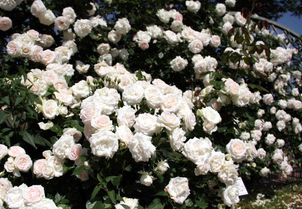 見事なバラ模様 ブランPDロンサール(4)
