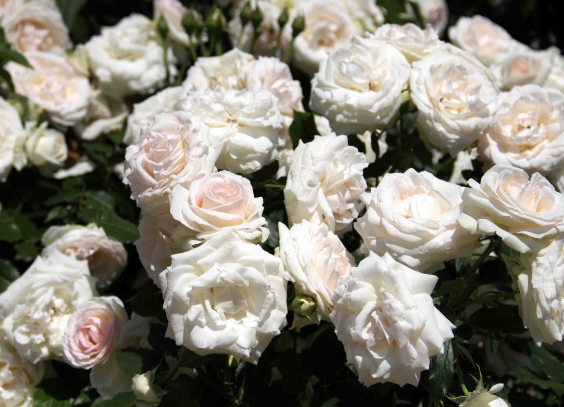見事なバラ模様 ブランPDロンサール(5)
