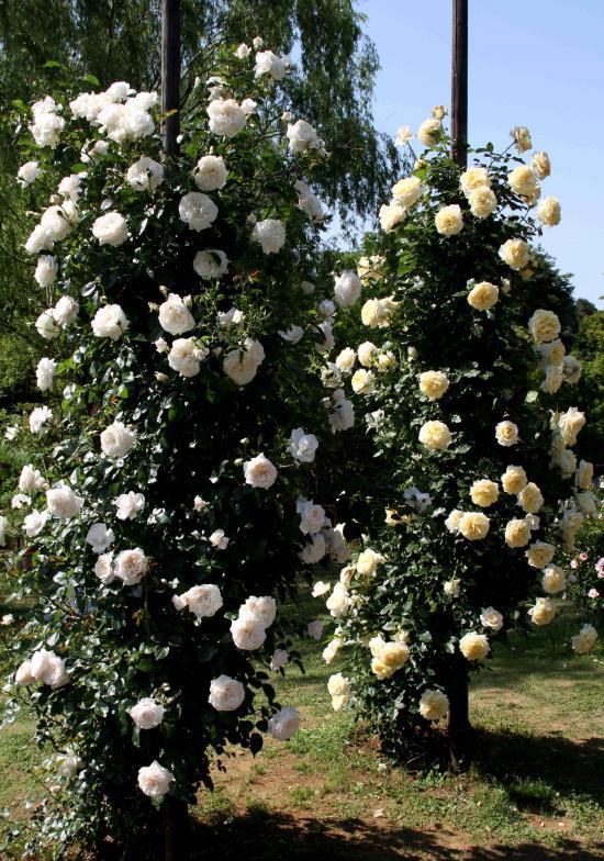 見事なバラ模様 ポール仕立て白と黄