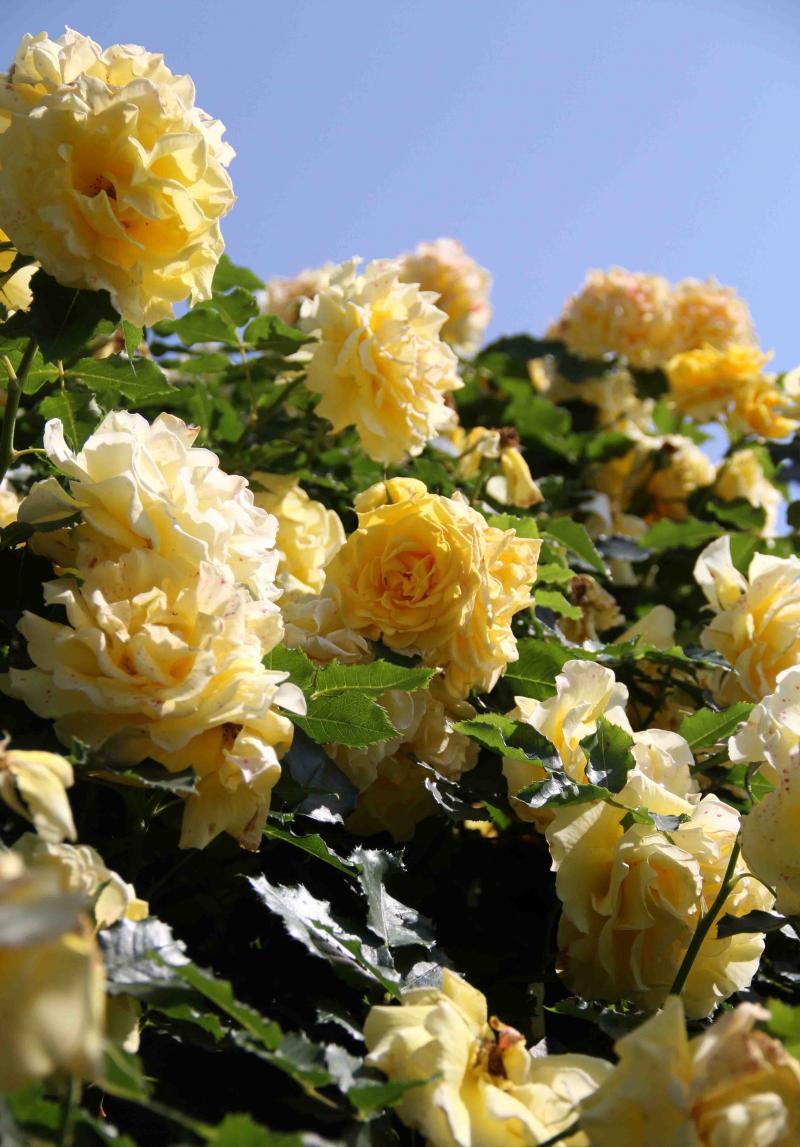 見事なバラ模様 つるゴールド・バニー(1)