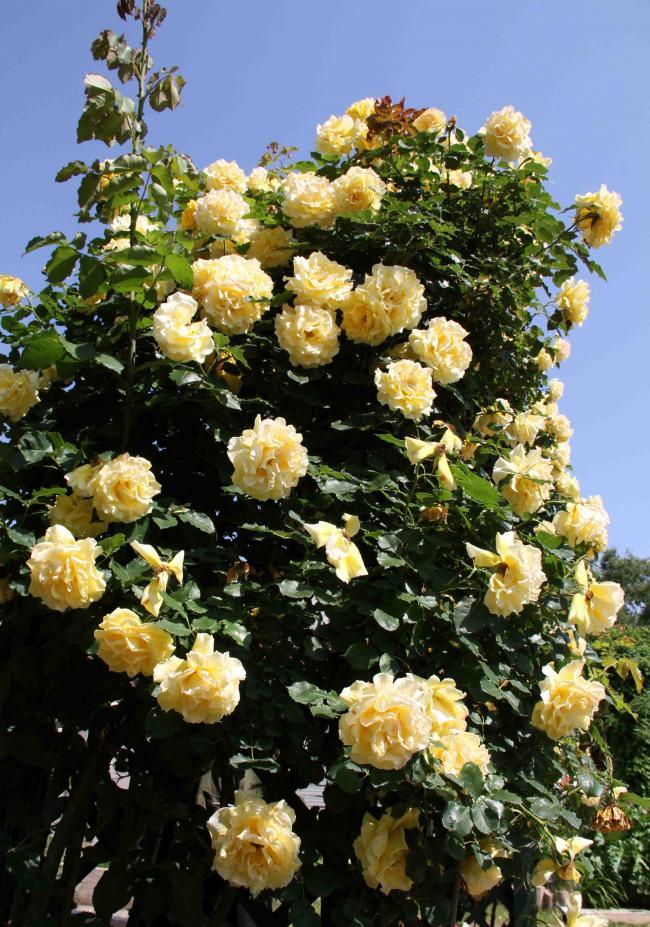 見事なバラ模様 つるゴールド・バニー(2)