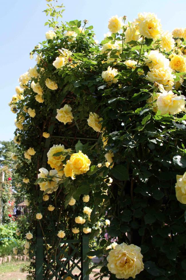見事なバラ模様 つるゴールド・バニー(3)