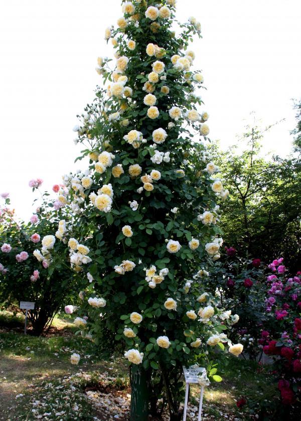 見事なバラ模様 ザ・ピルグリム(黄白)
