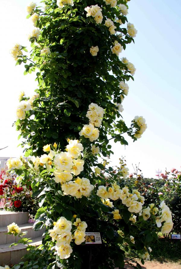 見事なバラ模様 つるスマイリー・フェイス(1)
