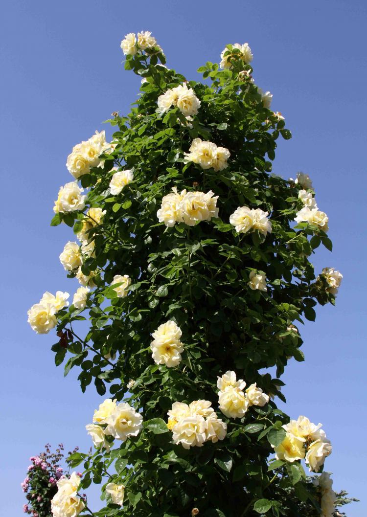 見事なバラ模様 つるスマイリー・フェイス(2)