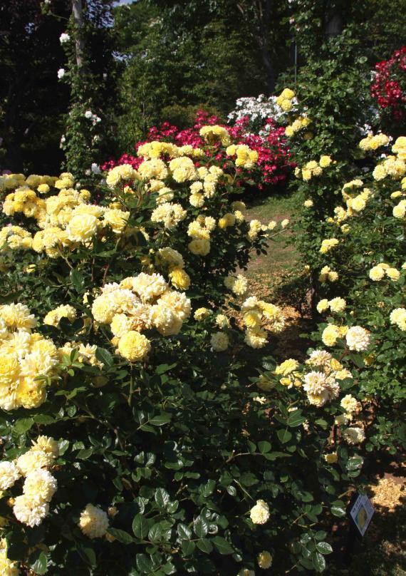 見事なバラ模様 総花(6)