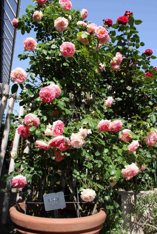見事なバラ模様 シーザー(淡ピンク)
