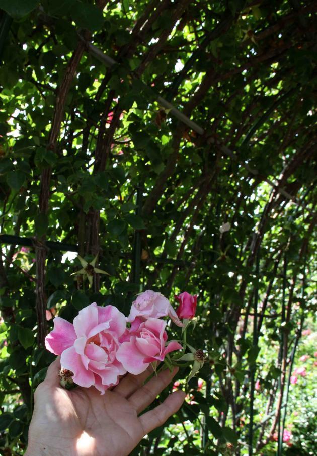 見事なバラ模様 スパニッシュ・ビューティー(1)