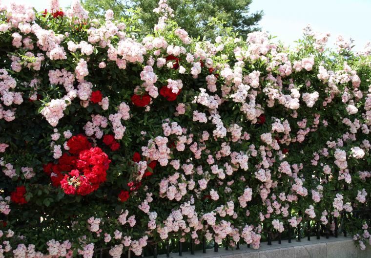 見事なバラ模様 ピンクに赤いバラ(2) 赤(エクスプルワ