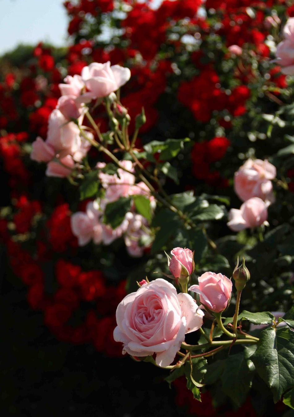 見事なバラ模様 ピンクローズ(1)