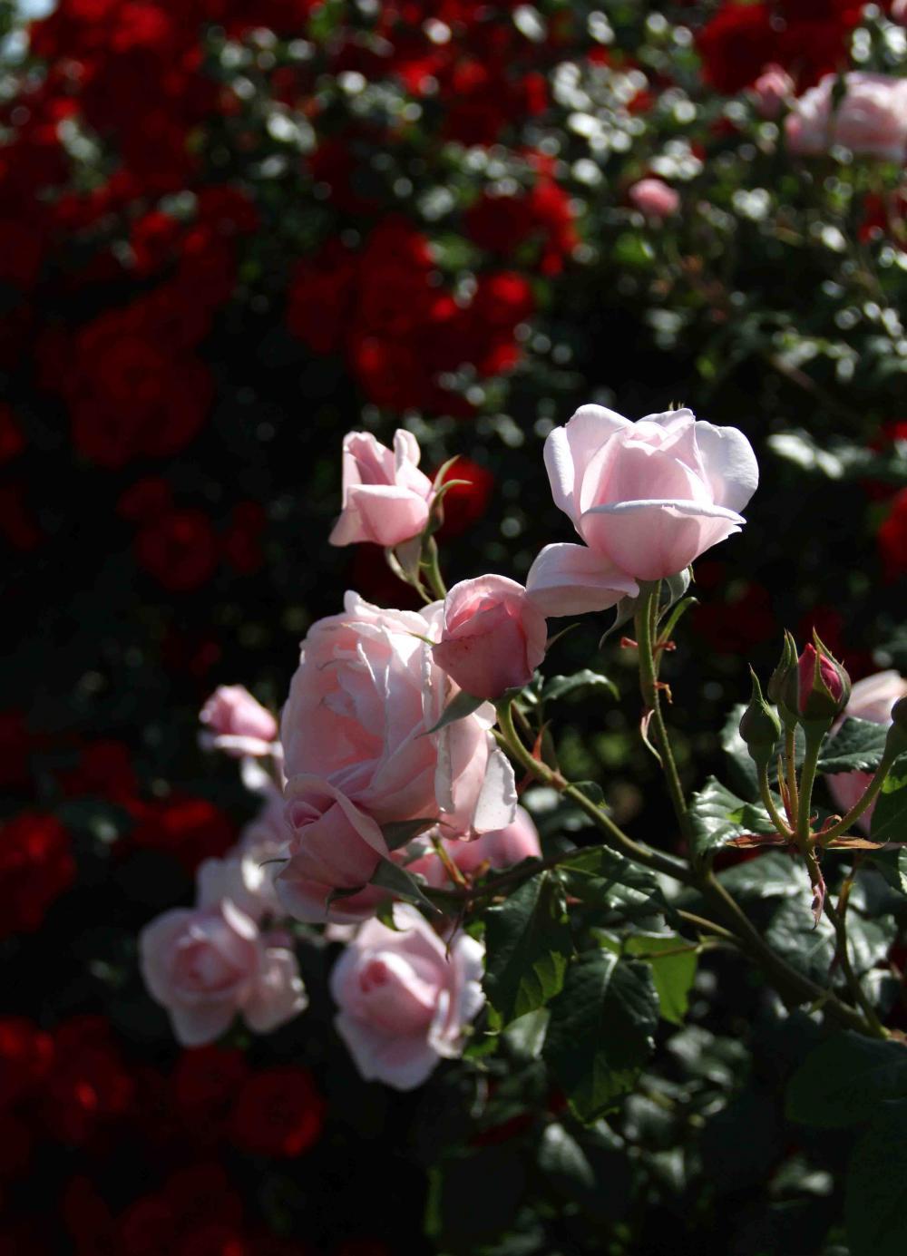 見事なバラ模様 ピンクローズ(2)