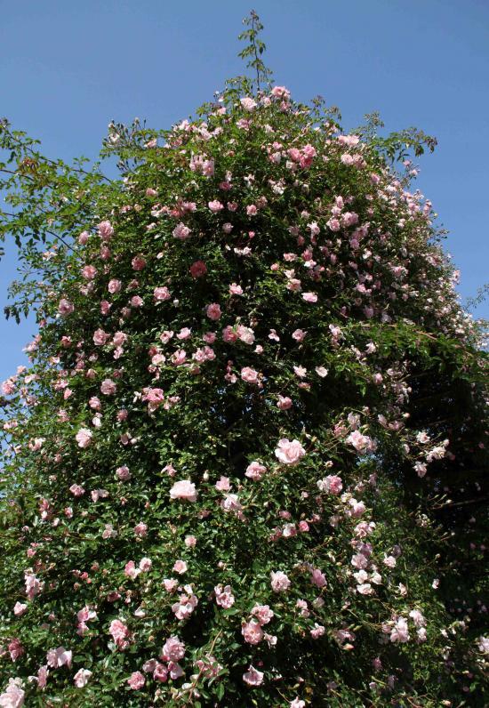 見事なバラ模様 フランソワ・ジュランビル(1)