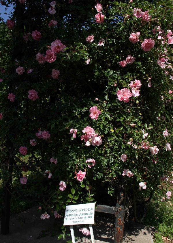見事なバラ模様 フランソワ・ジュランビル(4)