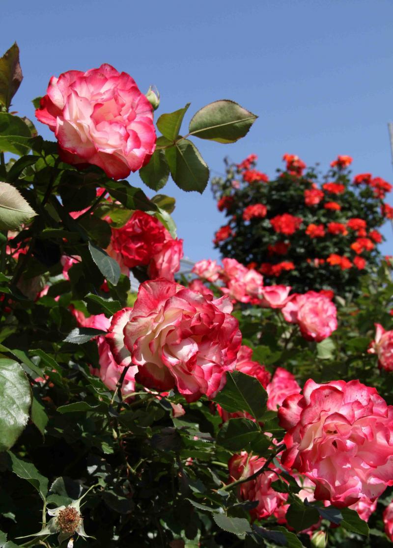 見事なバラ模様 プリンセス・ドゥ・モナコとつるプリンセス・ミチコ(2)
