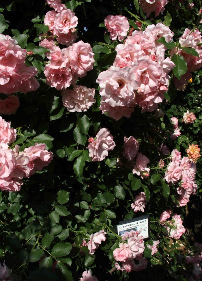 見事なバラ模様 ローゼンドルフ・シュバリースホップ(1)(ピンク)