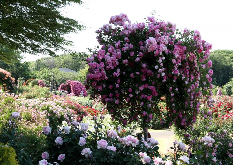 見事なバラ模様 巨大スタンダード仕立て(紫)