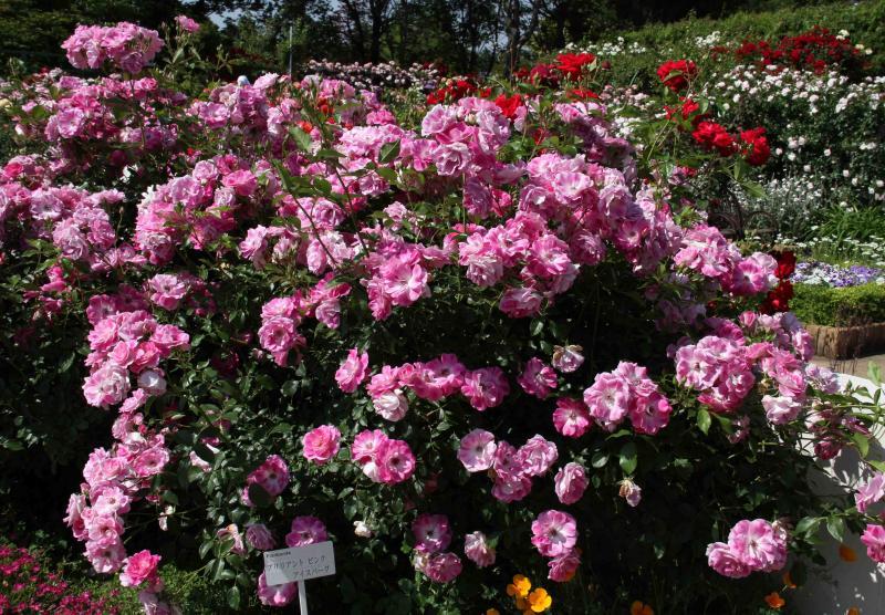 見事なバラ模様 赤いバラ(1)ブリリアント・ピンク・アイスバーグ